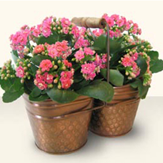 Kalanchoe Çiçeği Bakımı Nasıl Yapılır?